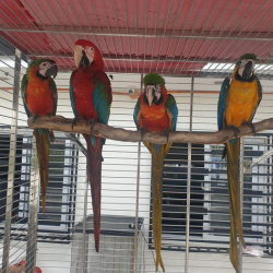 Bello e sorprendente blu e oro Macaw maschio e femmina.