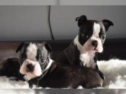 Boston terrier taglia piccola cuccioli stupendi