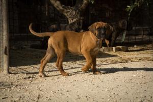 Cani Corso