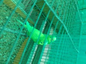 Cocorite giallo/verde pulli da imbecco o adulte