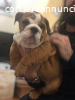Cucciola di bulldog inglese!!