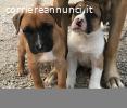 Cuccioli Bulldog Americano