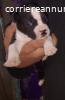 Cuccioli di American Staffordshire terrier