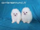 Cuccioli Pomeranian micro tazza da tè affascinante