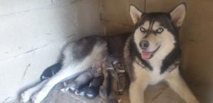 Cuccioli siberian husky (no pedigree)