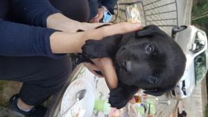 cucciolo labrador colore nero