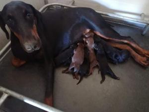 Dobermann cuccioli