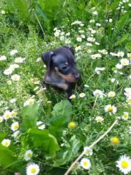 dolcissima cucciolata di Pinscher toy di color fulvo e nero