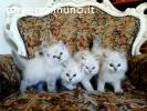 gattini RAGDOLL con pedigree