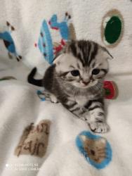 Gattini scotish fold e straight silver tabby