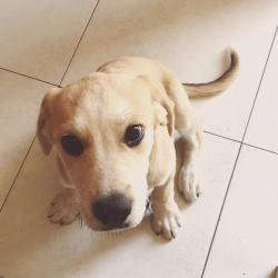 Labrador cucciolo regalo