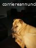 Maschio sharpei per cucciolata