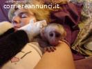 pallida scimmia cappuccina in cerca di adozione