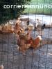 Pollo buono ruspante