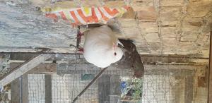 Piccioni e colombi