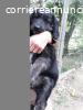 Regalo cucciola incrocio labrador