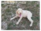 Regalo cucciolo Lagotto/Breton