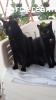 Regalo n 2 Gattine nere di 1 Anno