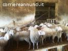 Vendita pecore Appenninica Bergamasca