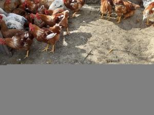 Vendo polli da coltello